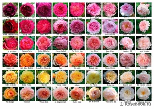 DA-roses-color9ece3f68932bd3fe.jpg